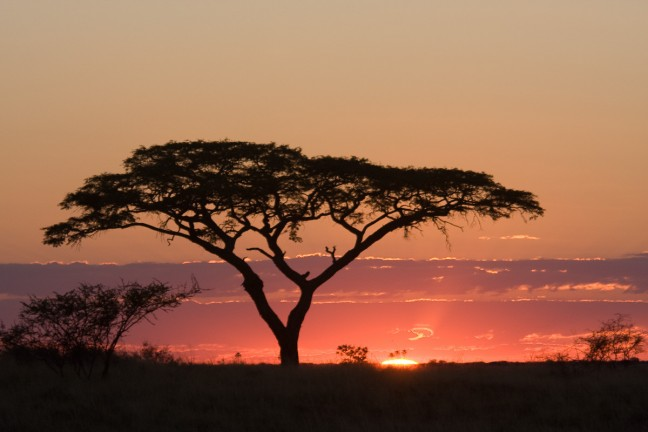 Africa: Acacia by sunset