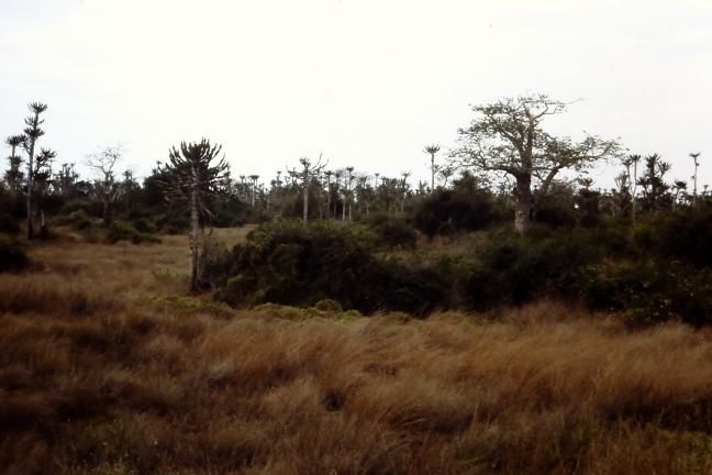 De baobabs