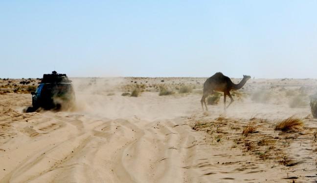 Regel een: Kamelen hebben altijd voorrang!