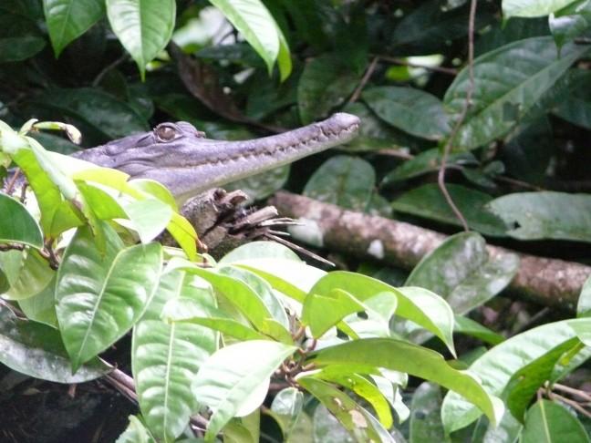 Slender Snouted Dwarf Crocodile