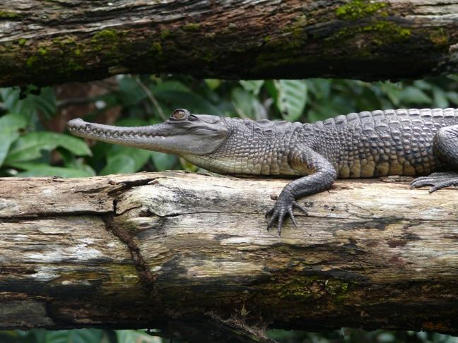 Slender snouted crocodile 2