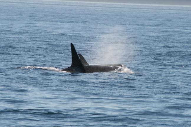 Orca's in Strait of Georgia