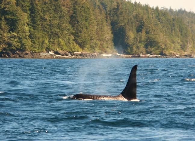 Orca, Vancouver Island