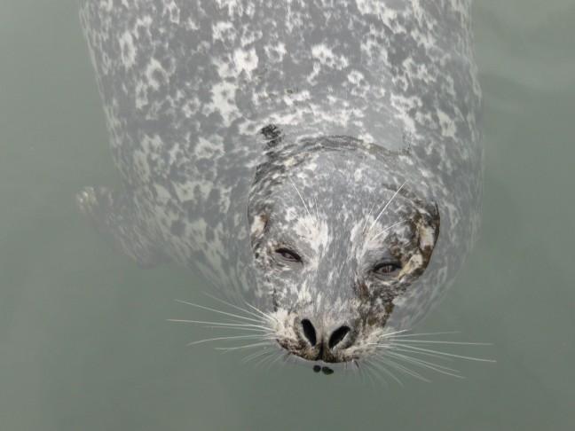 zeehond in haven Victoria