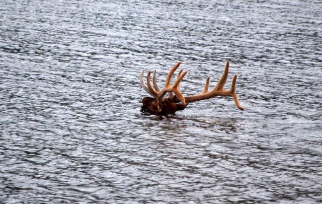 zwemmende wapiti