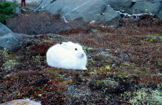 Sneeuwhaas