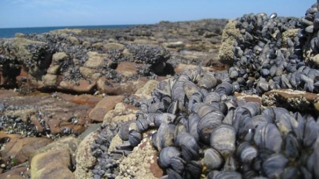 lekkere mosseltjes op de Bretoense rotsen