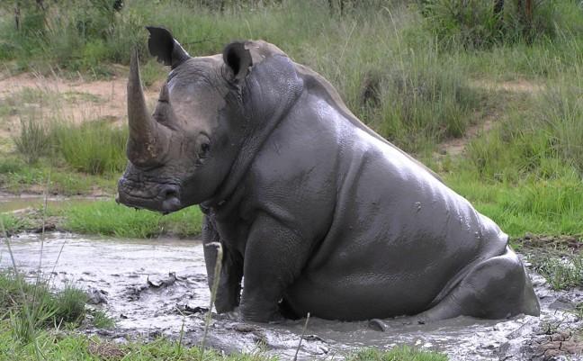 Neushoorn neemt modderbad