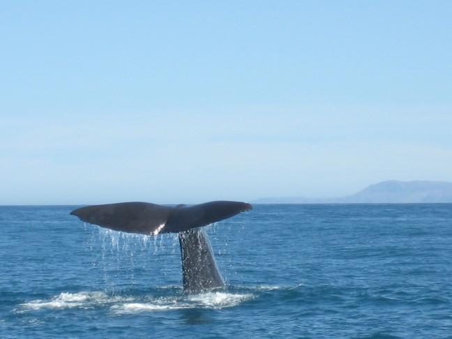 Kaikura Whales