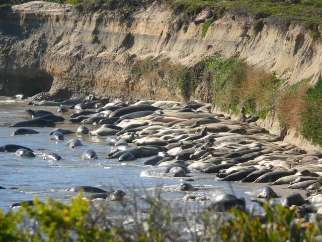 Zonnende olifant zeehonden