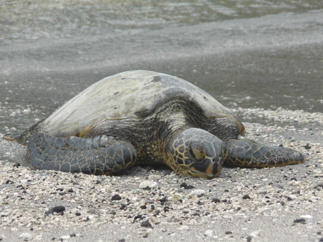 schildpad aan de kust van Big Island Hawaï