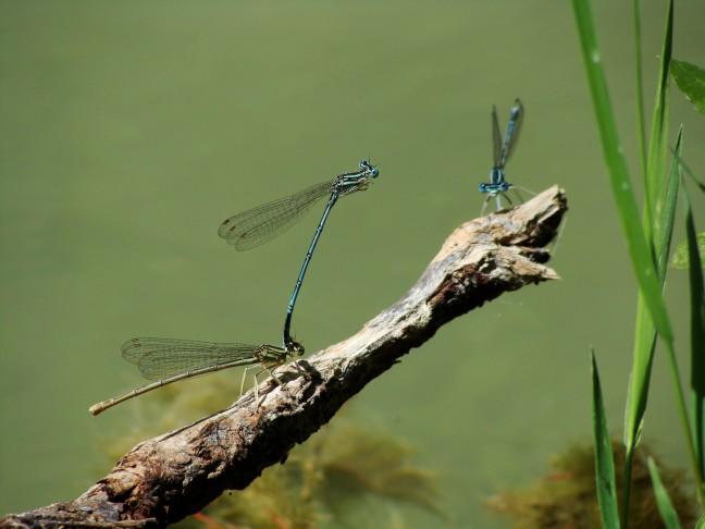 Libelles in Bulgarije
