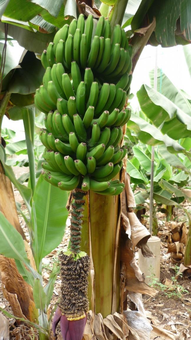 Arona - Tenerife - bezoek een bananenplantage