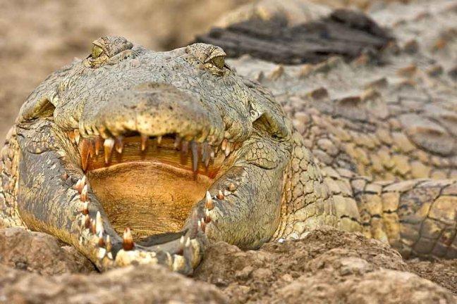 Luangwa crocodile