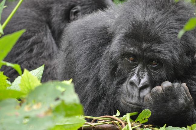 Berggorilla in Virunga National Park
