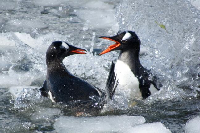 Kwekkende pinguins