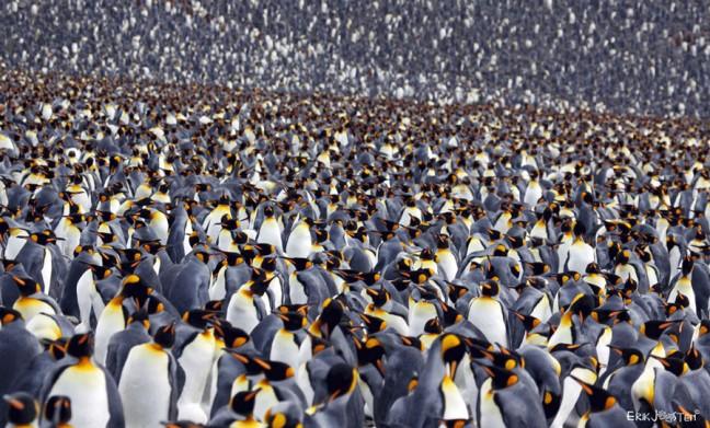 Heel veel pinguïns