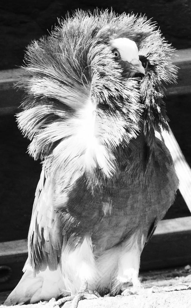 grijze duif