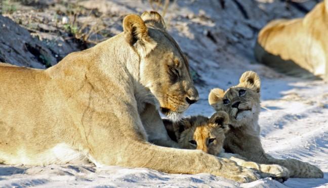 leeuwinnen met welpjes in Nxai Pan