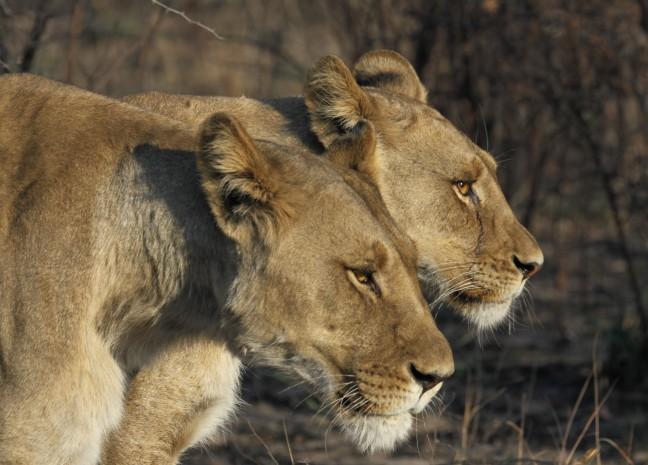 2 leeuwinnen in Nxai Pan