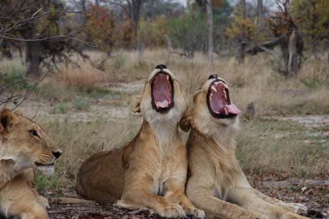 Luie leeuwen
