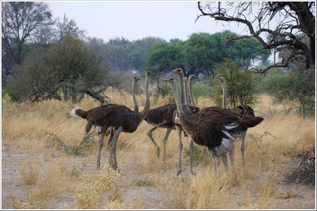 Struisvogel theekransje