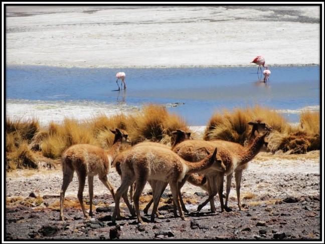 Vicuñas & flamingo's op de Altiplano