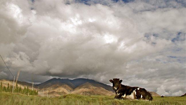 NL koe in tibet