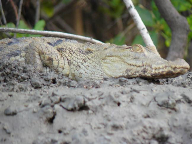 Krokodil aan land