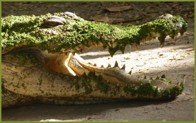 Krokodil aaien..