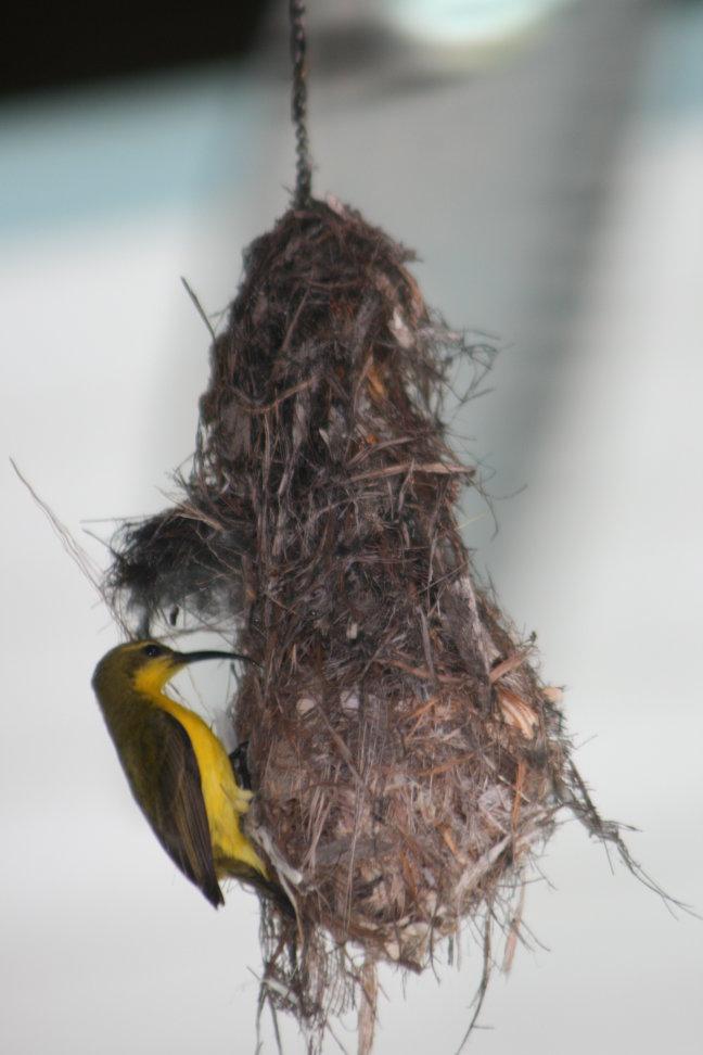 kolibri met kroost