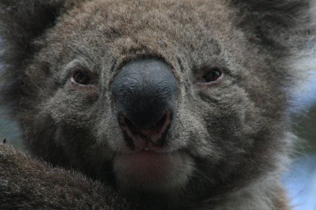 close up koala
