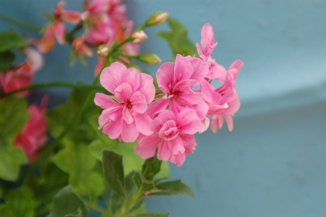 geranium parga