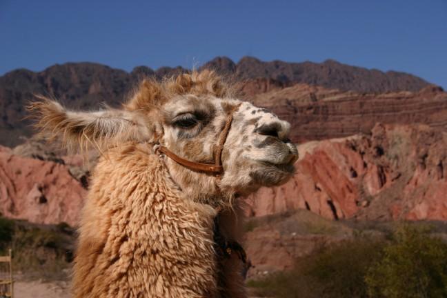 lama in argentinie