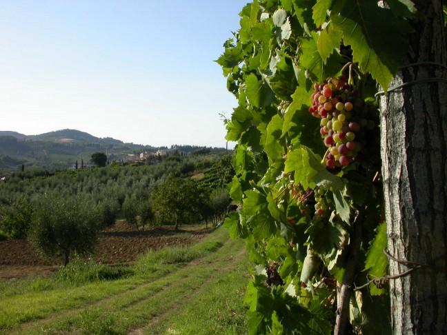 Wijnranken bij San Gimignano