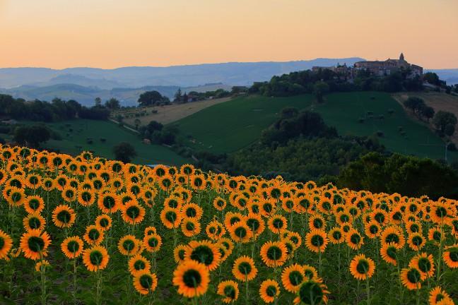 Zonnebloemen in de ochtendzon
