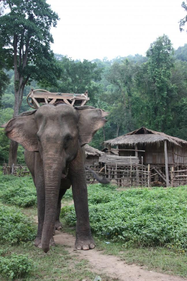 2008: Huay Nam Dang NP: olifant.