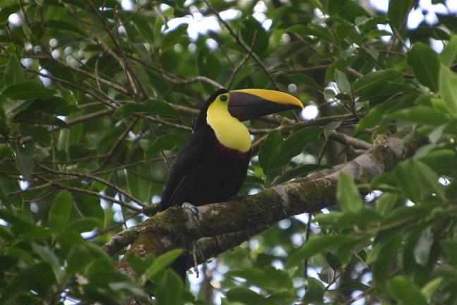 Chestnut mandibeld toucan