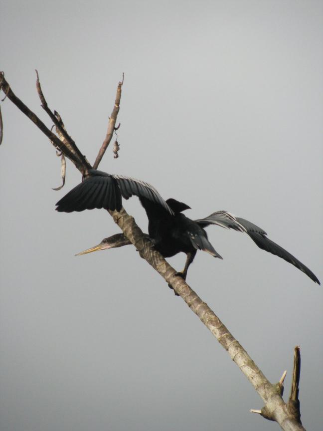 Zwanehal vogel