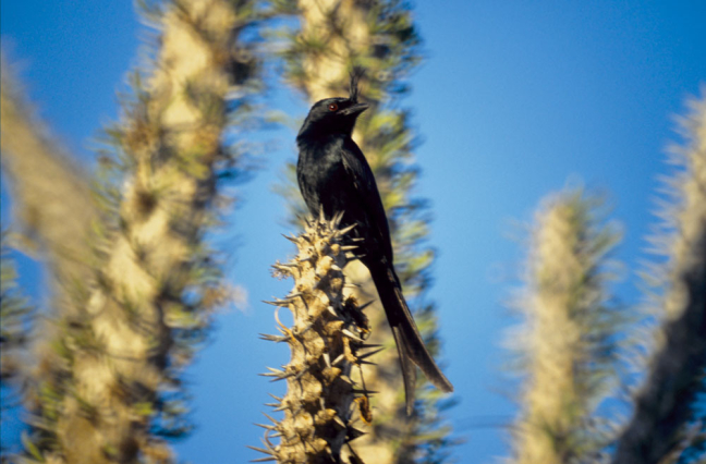 Crested Drongo in Spiny Forest