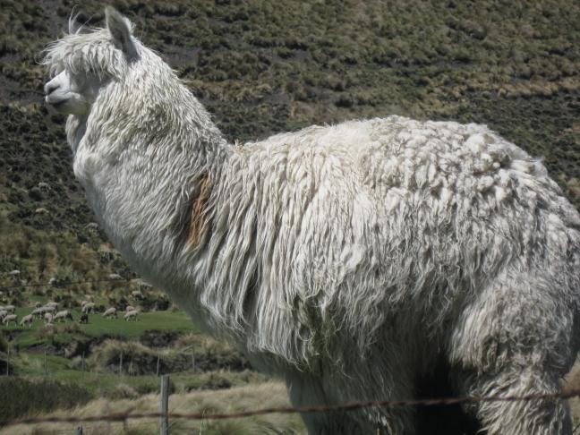 Alpaca op de Chimborazo