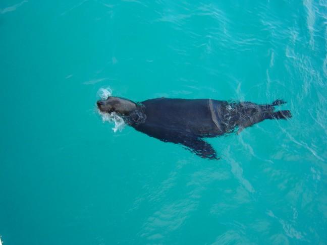 zeeleeuw op Galapagos