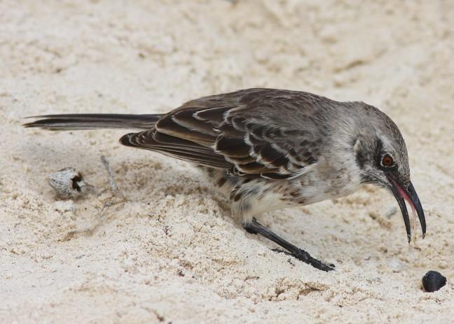 galapagos spotvogel
