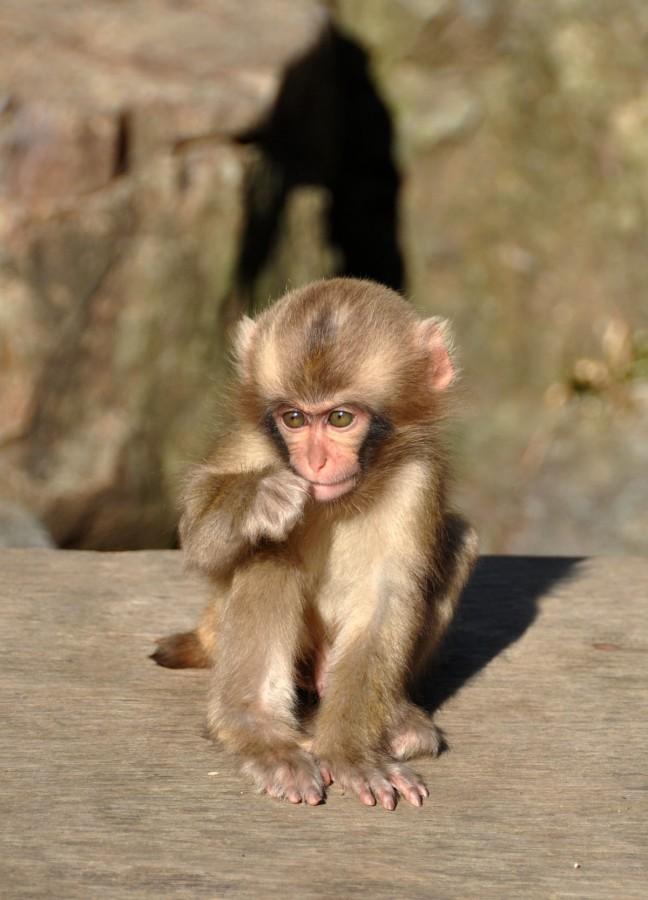 Baby aapje in Japan