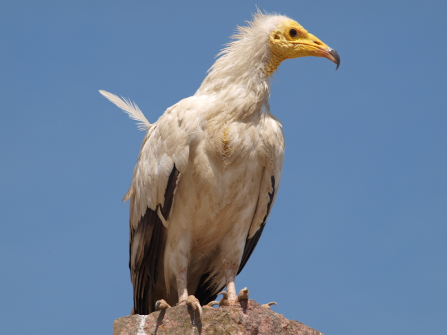 Socotra Gier