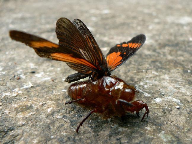 ontpopping van een vlinder