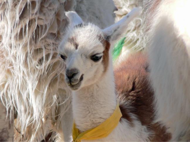 baby lama