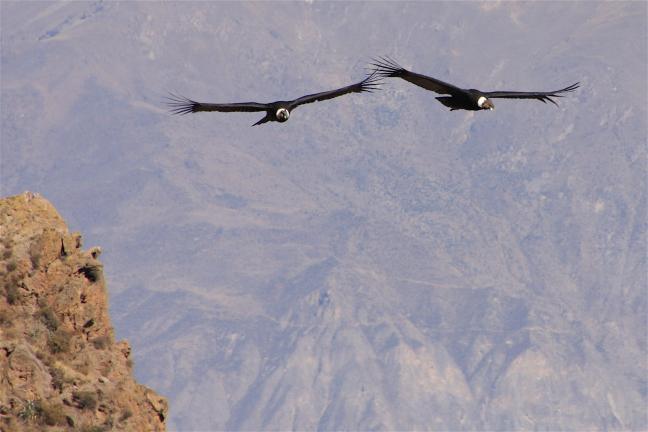 Koppel condors