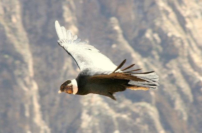 Condor in de canyon
