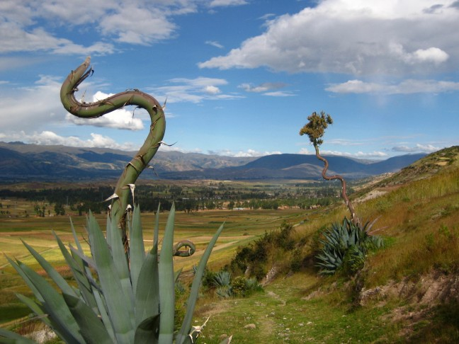 S agave